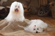 Coton de Tulear dogs on sackcloth in barn — Stock Photo