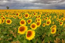 Spain, Reserva natural de Lagunas de Villafafila, Field of sunflowers — Stock Photo