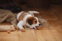 Щенок Kooikerhondje играет с грецкими орехами на вретище в сарае — стоковое фото