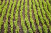 Green rice seedlings in ricefield, Bali, Indonesia — Stock Photo