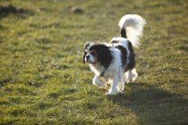 Cavalier King Charles Spaniel standing on meadow — Stock Photo