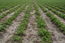 Closeup vista de morango campo de dia, Riem, Baviera, Alemanha — Fotografia de Stock