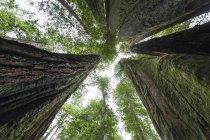 США, Калифорния, Национальный парк Редвуд, Секвойя деревья — стоковое фото