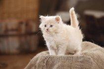 British Longhair Cat kitten standing on sackcloth — Stock Photo
