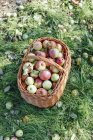 Pommes fraîches cueillies dans le panier en osier — Photo de stock