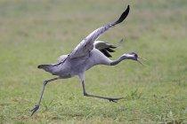 Corriendo la grúa con las alas de extensión - foto de stock