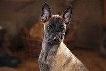Крупным планом бельгийского щенка Малинуа, смотрящего сбоку — стоковое фото