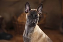 Close-up of Belgian Malinois puppy looking sideways — Stock Photo