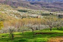 Valle del Jerte, árvores do vale com florescendo cereja, Extremadura, Espanha — Fotografia de Stock