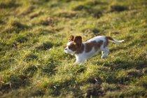 Cavalier King Charles Spaniel cucciolo in esecuzione sul prato — Foto stock