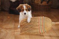 Kooikerhondje puppy playing with broom on wooden floor in barn — Stock Photo