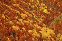 Aerial view of coniferous forest in autumn at daylight, Ordesa National Park, Spain. — Stock Photo