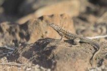 Equador, Ilhas Galápagos, Santa Fe, Galápagos lagarto na pedra — Fotografia de Stock