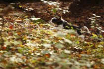 Running Cavalier King Charles Spaniel puppy at forest — Stock Photo