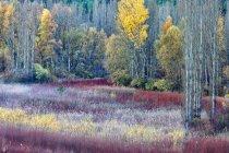 Spanien, Cuenca, Weidenanbau in Canamares im Herbst — Stockfoto