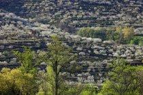 Árvores de vista verde vale com florescendo cereja no Valle del Jerte, Extremadura, Espanha — Fotografia de Stock