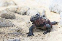Équateur, îles Galápagos, Espanola, Punta Suarez, iguane marin, Amblyrhynchus cristatus — Photo de stock