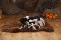 Australian Shepherd puppies playing on sheepskin on wooden floor in barn — Stock Photo