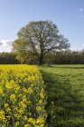 Germany, Brandenburg, blossoming rape and old oak tree on a meadow — Stock Photo