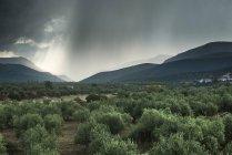 Греція, Оливковий сад над полем з рослин і пагорбів на тлі — стокове фото