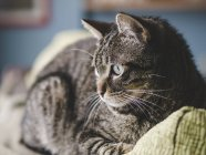 Tabby house cat lying on couch — Stock Photo