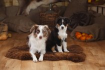Australian Shepherd female dog and puppy on sheepskinn in barn — Stock Photo