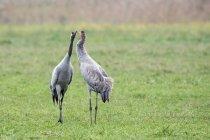 Crane couple on meadow billing — Stock Photo