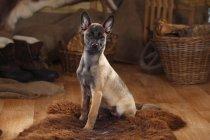 Belgian Malinois puppy sitting on sheepskin in barn — Stock Photo