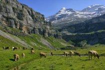 Gregge di Spagna, Parco nazionale di Ordesa, delle mucche al pascolo, paesaggio di montagna su priorità bassa — Foto stock