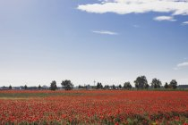 Campo de amapolas de Alemania, Colonia Widdersdorf, en la luz del sol - foto de stock