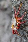 Vista da vicino di giorno di granchio di roccia rossa aggrappato alla pietra — Foto stock