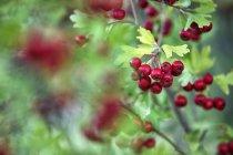Chiuda in su della bacche di rosso biancospino, Crataegus monogyma — Foto stock