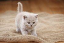 British Shorthair kitten standing on sackcloth — Stock Photo