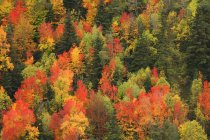 Vista panorámica de bosque de coníferas en otoño en luz del día, Parque Nacional de Ordesa, España. - foto de stock
