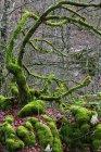 España, Parque Natural Urbasa-Andia, Moss arboles cultivados - foto de stock