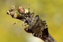 Troilus luridus sitting on twig ongren  blurred background — Stock Photo