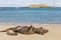 Ecuador, Isole Galapagos, Santa Fe, sei leoni marini sdraiati sulla spiaggia di fronte al mare — Foto stock