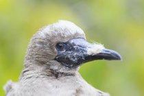 Durante il giorno vista del primo piano della testa di giovane Sula piedirossi — Foto stock