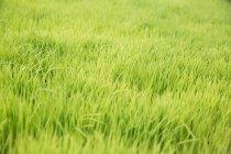 Перегляд Саджанці зеленого рису в ricefield при денному світлі, Балі, Індонезія — стокове фото