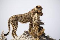 Botswana, Delta dell'Okavango, due ghepardi in cerca di prede — Foto stock