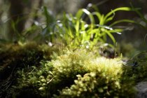 USA, Hawaii, Big Island, Volcanoes National Park, moss on soil of primeval forest — Stock Photo