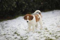 Kooikerhondje puppy standing on snow-covered meadow — Stock Photo