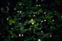 Piante di fragola in fiore su sfondo scuro — Foto stock