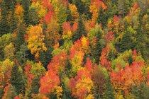 Vista aérea del bosque de coníferas en otoño en luz del día, Parque Nacional de Ordesa, España. - foto de stock