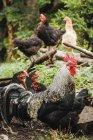 Gallo ruspante Austria, St. Martin, con galline in fattoria — Foto stock