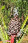 Daytime view of pineapple growing in wild — Stock Photo