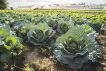 Cabbage field with many ripe cabbages in Greece — Stock Photo