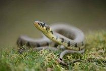 Cobra de grama em um prado — Fotografia de Stock