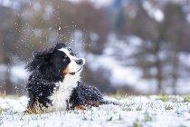 Сен-Бернар собака лежить на засніженому луг і похитуючи головою — стокове фото