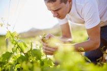 Южная Африка, виноградарь, изучающий виноград — стоковое фото